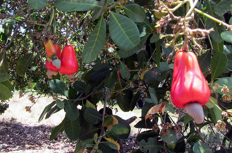 In Burica gibt es viele exotische Früchte - auch den Cashew Baum