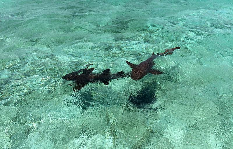 Ammenhaie im Caye Caulker Marine Reserve