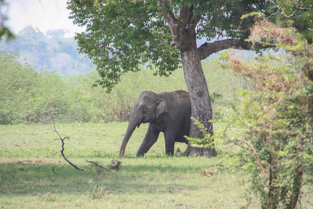 Ein wilder Elefant in Sri Lanka