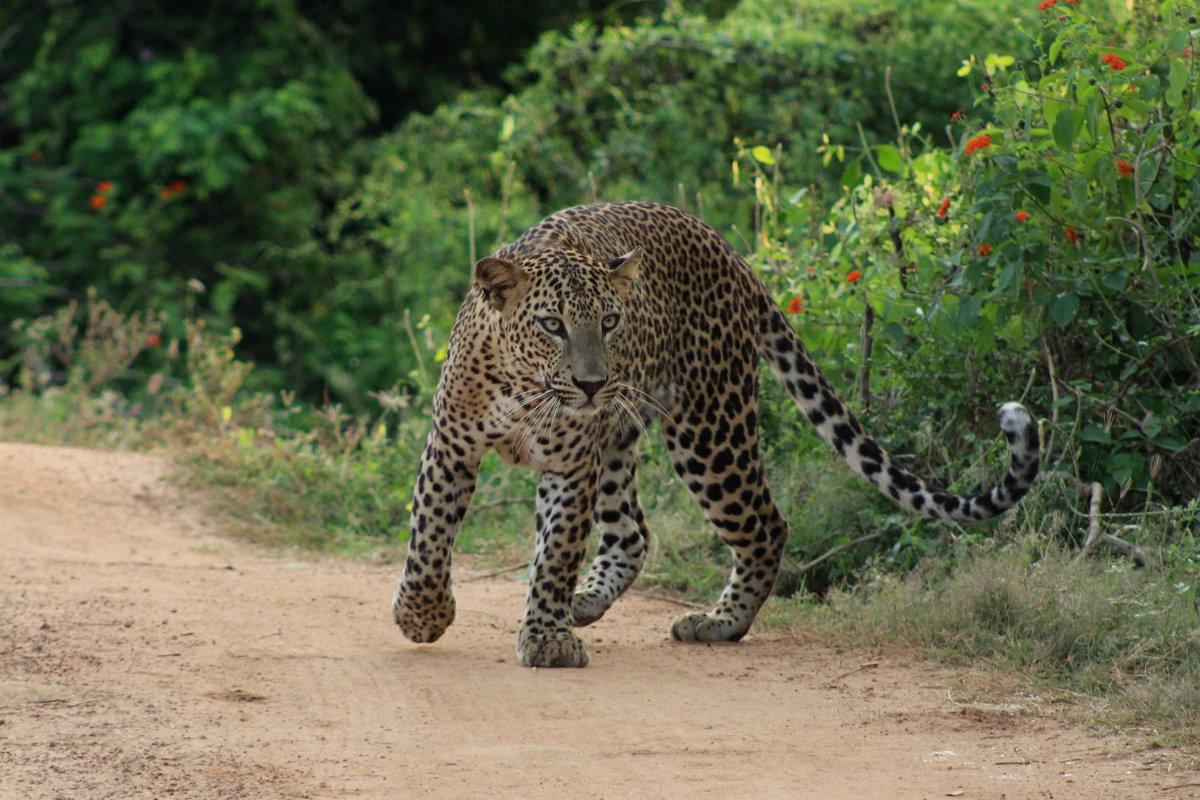 Leopard im Yala Nationalpark von Sri Lanka