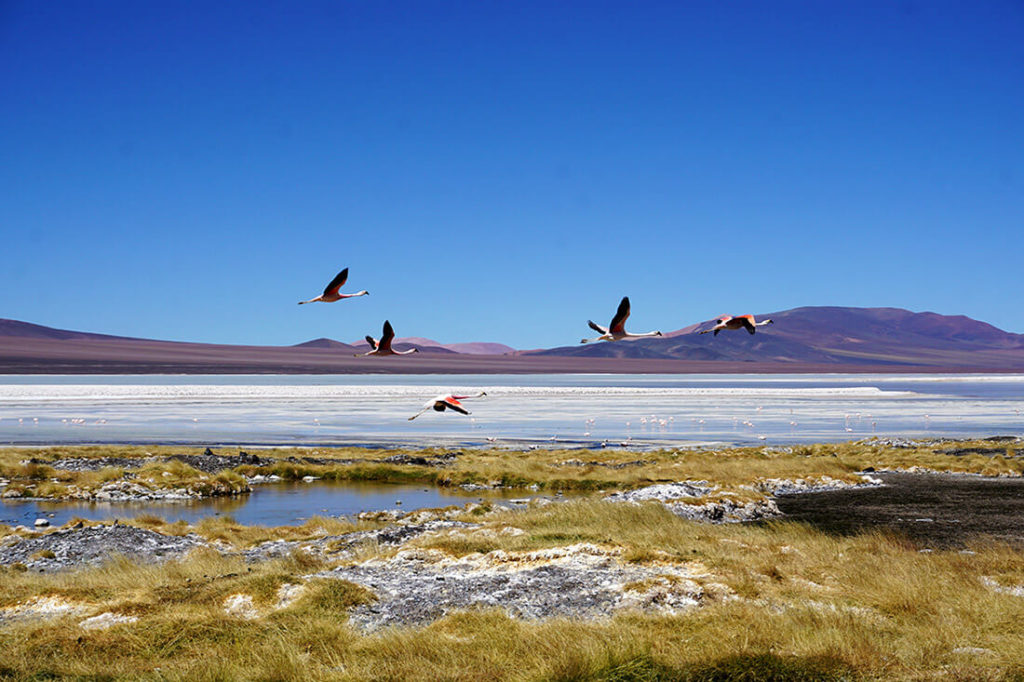 Flamingos an der Laguna Brava in la Rioja, Argentinien